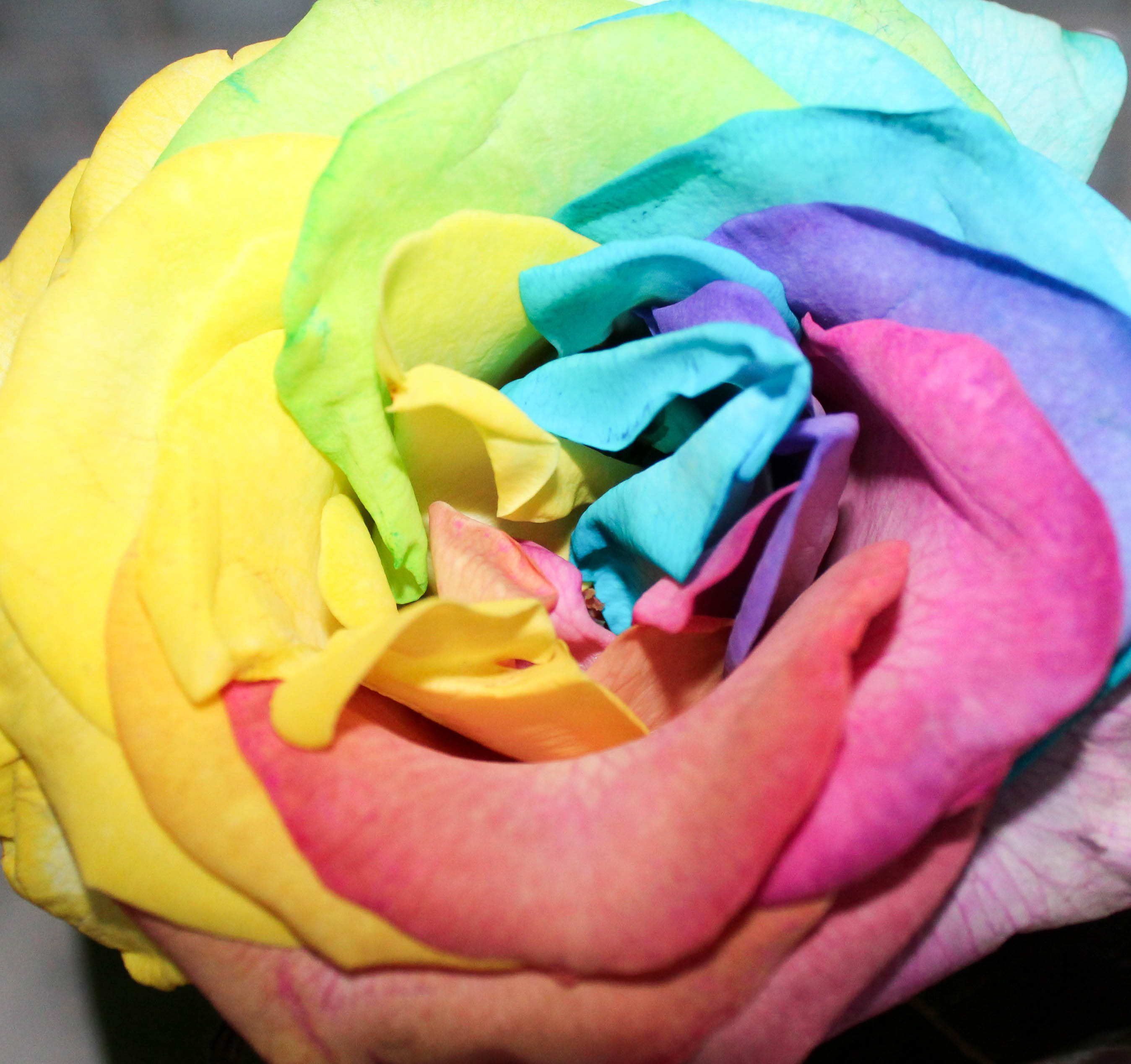 rainbow roses carnival roses multicolor roses how to color roses